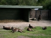 lazy ass kangaroos (DISAPPOINTING)